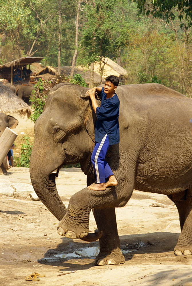 Mahout climbing onto elephant, Elephant Camp near Chiang Mai, Thailand, Southeast Asia, Asia