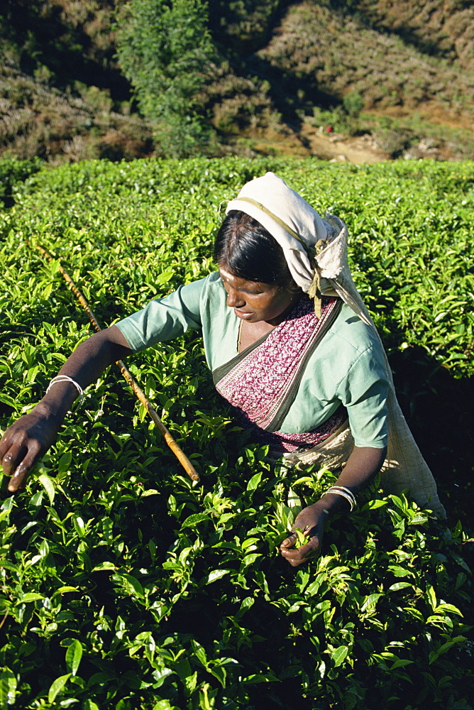 Tea plucking, Nuwara Eliya area, Sri Lanka, Asia - 1-36922
