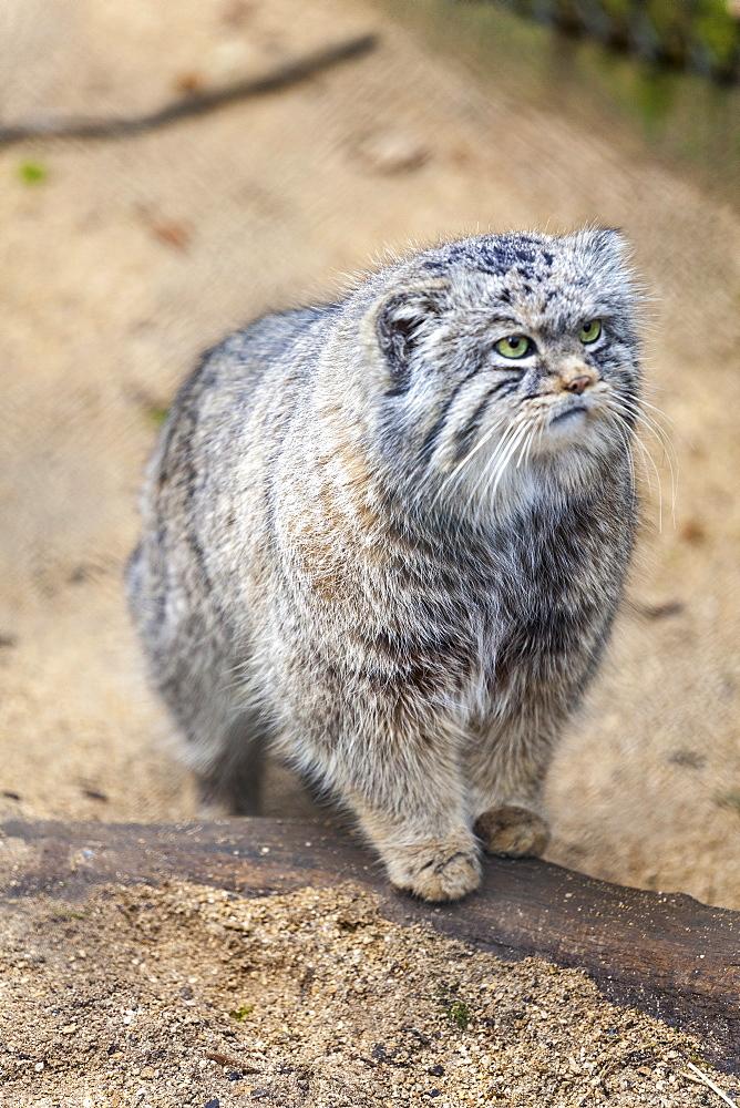 Pallas cat, Otocolobus manu, Cotswold Wildlife Park, Costswolds, Gloucestershire, England, United Kingdom, Europe  - 10-116