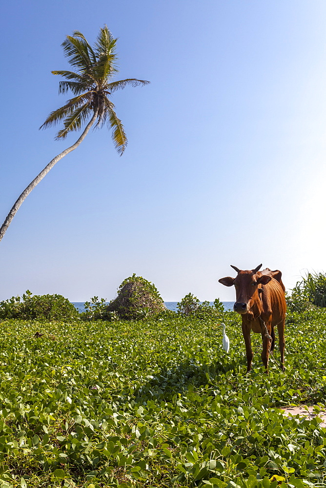 Cow and crane, who share a simbiotic relationship, Talpe, Sri Lanka, Asia