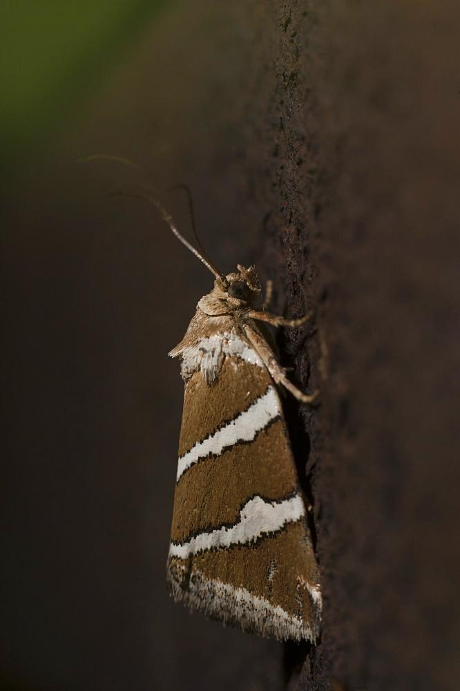 Silver barred moth (Deltote bankiana), North West Bulgaria, Europe *** Local Caption *** Family Noctuidae;Sub family Eustotiinae
