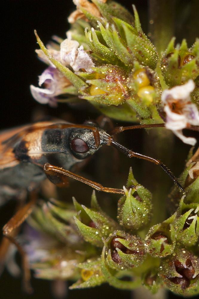 Groundbug (Rhyparochromidae), North West Bulgaria, Europe *** Local Caption *** Family Lygaeidae