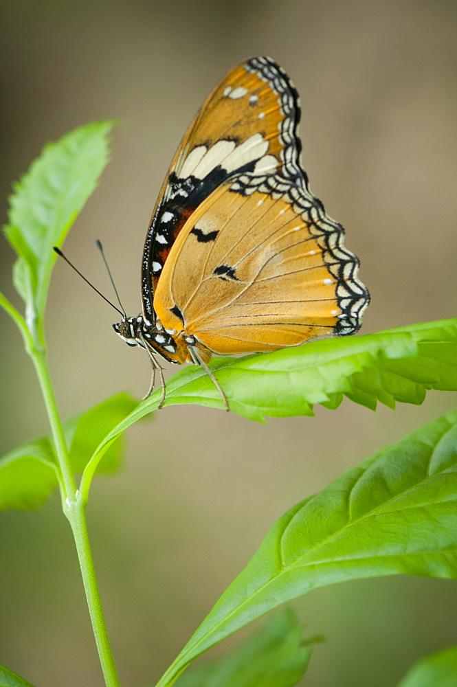 Exotic butterfly (Rhopalocera), Grevenmacher Butterfly Garden, Luxembourg, Europe - 1001-141