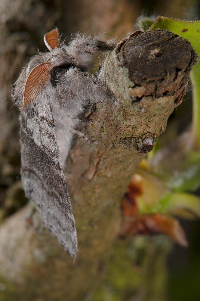 Pale tussock moth (Calliteara pudibunda) (Dasychira pudibunda) (Orgyiinae), Bettel, Luxembourg, Europe *** Local Caption *** Family Lymantriidae