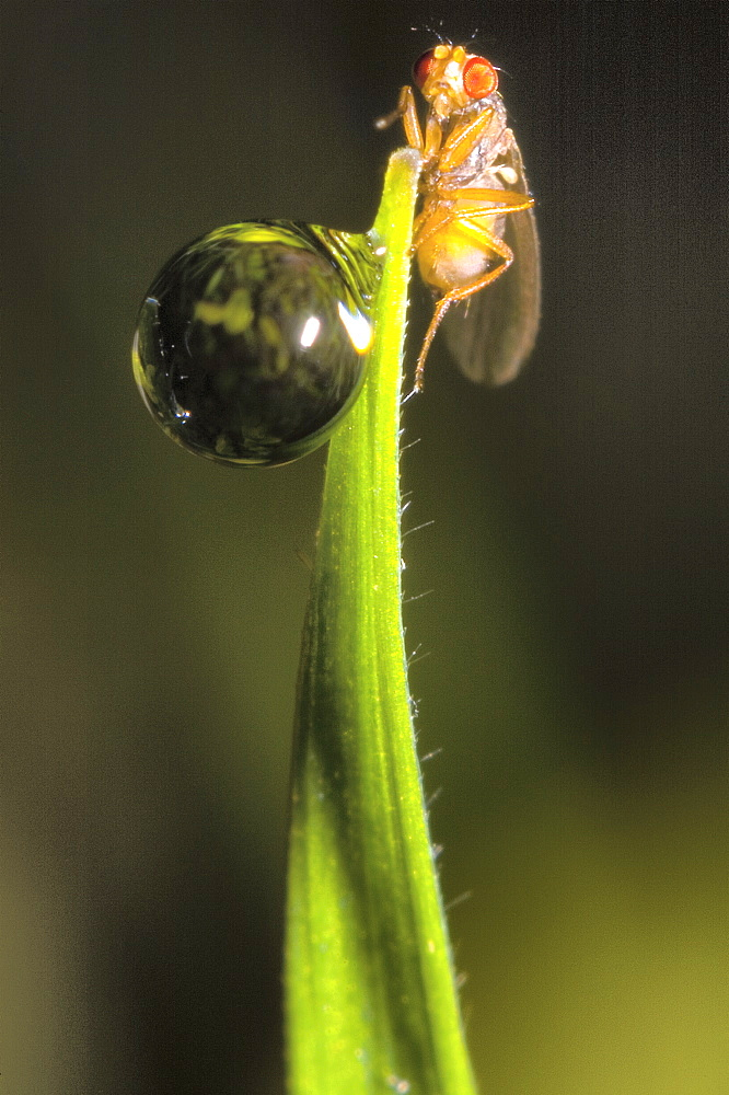 Red eyed fruit fly (Drosophila sp);North West Bulgaria;Europe