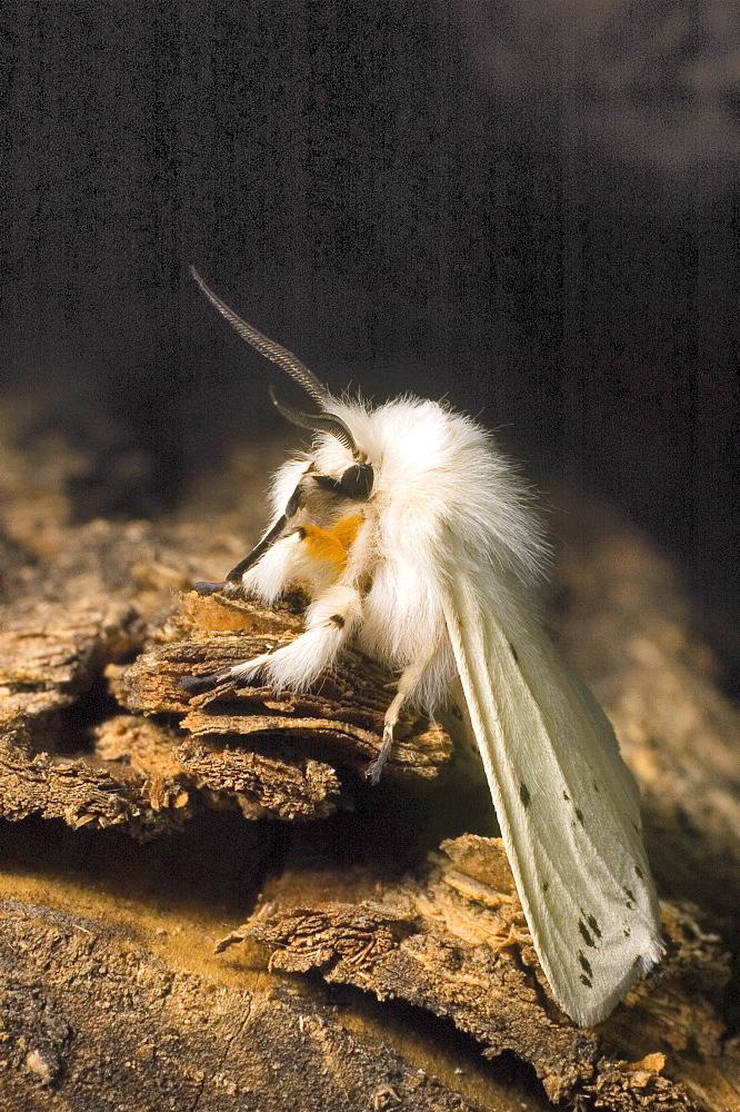 White Ermine (Spilosoma lubricipeda);North West Bulgaria;Europe
