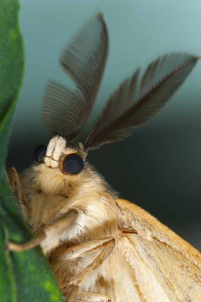 Male moth (Heterocera), North West Bulgaria, Europe