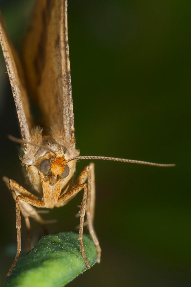 Moth (Geometridae), North West Bulgaria, Europe *** Local Caption *** Family Geometridae