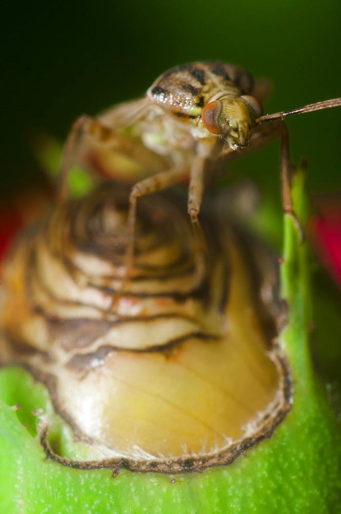 Capsid (Plant bug) (Mirid bug) (Miridae), North West Bulgaria, Europe *** Local Caption *** Order Coleoptera