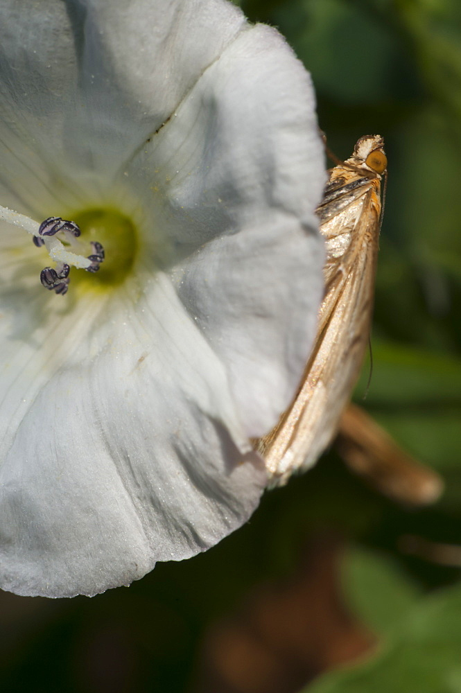 Moth (Heterocera), North West Bulgaria, Europe