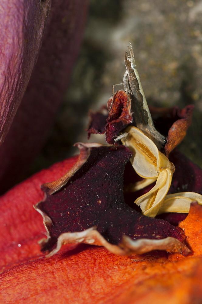 Diamond back moth (Plutella xylostella) (Yponomeutidae) (Plutellinae), North West Bulgaria, Europe