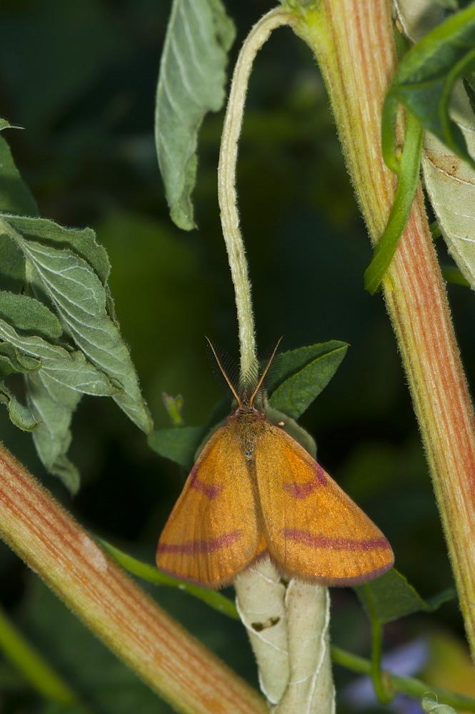 Purple-barred yellow moth (Lythria purpuraria) (Geometridae), Bulgaria, Europe