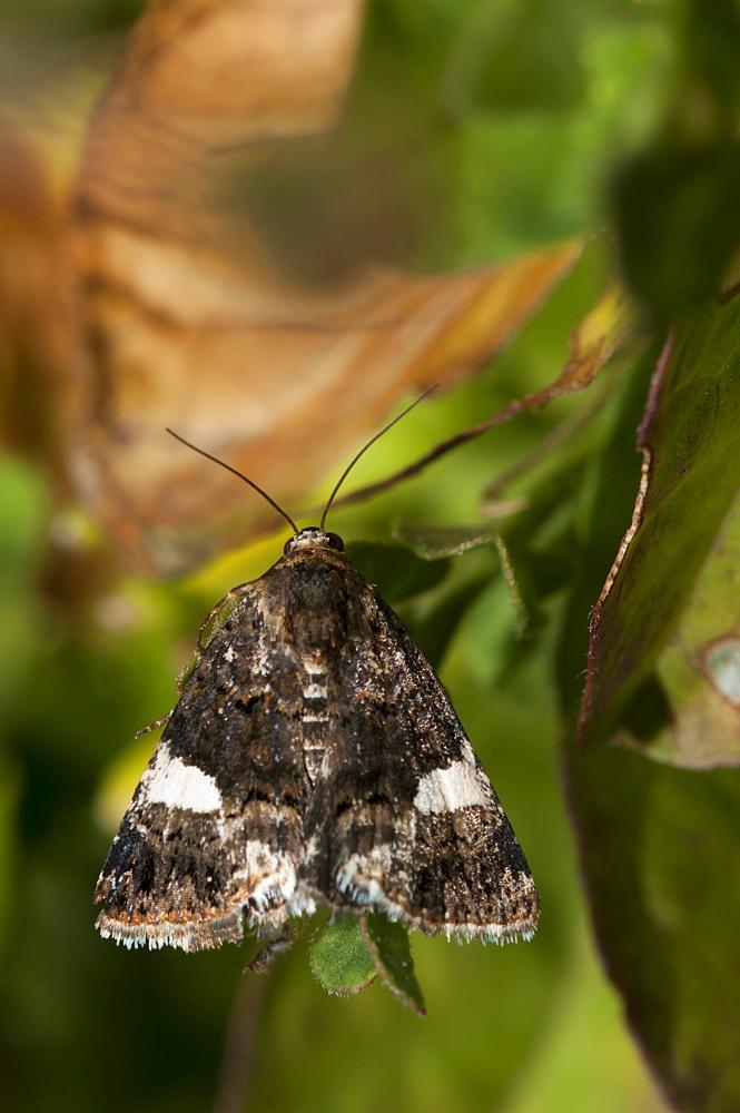 Four-spotted (Tyta luctuosa) (Noctuidae), Bulgaria, Europe