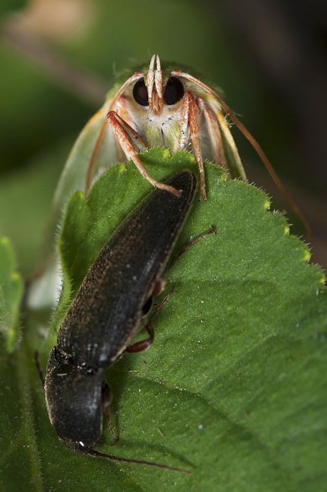 Scarce silver-lines (Bena bicolorana) (Noctuidae), Bulgaria, Europe