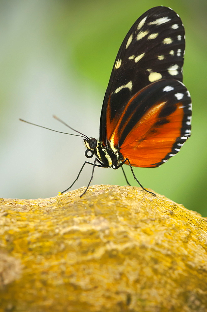 Tiger longwing (golden helicon) (Heliconius hecale), Grevenmacher Butterfly Garden, Luxembourg, Europe