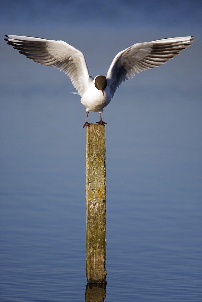Blackheaded gull (Larus ridibundus). UK