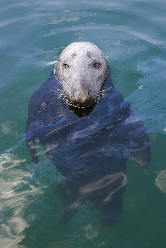 Grey seal (Halichoerus grypus) swimming. Scotland