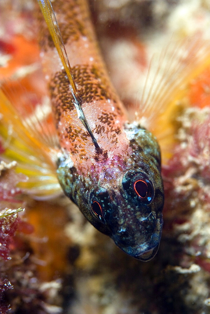 Black-Face Blenny Tripterygion delaisi (male)