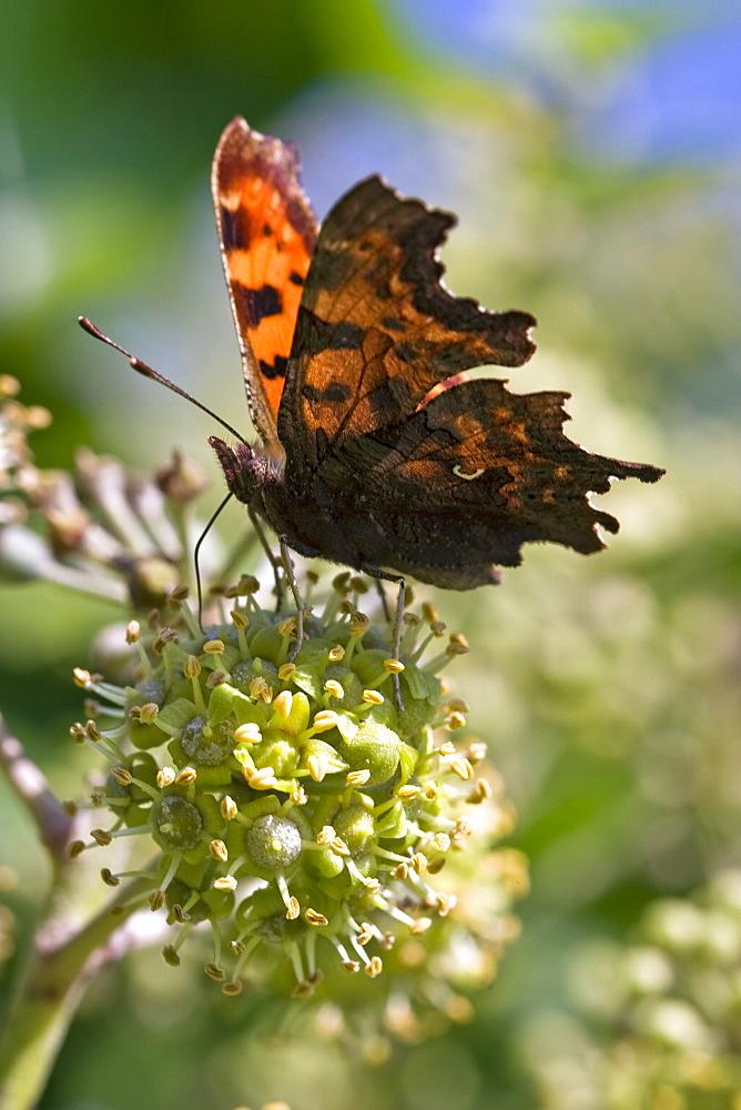 Comma Butterfly (Polygonia c-album). Sark, British Channel Islands, UK - 1004-250