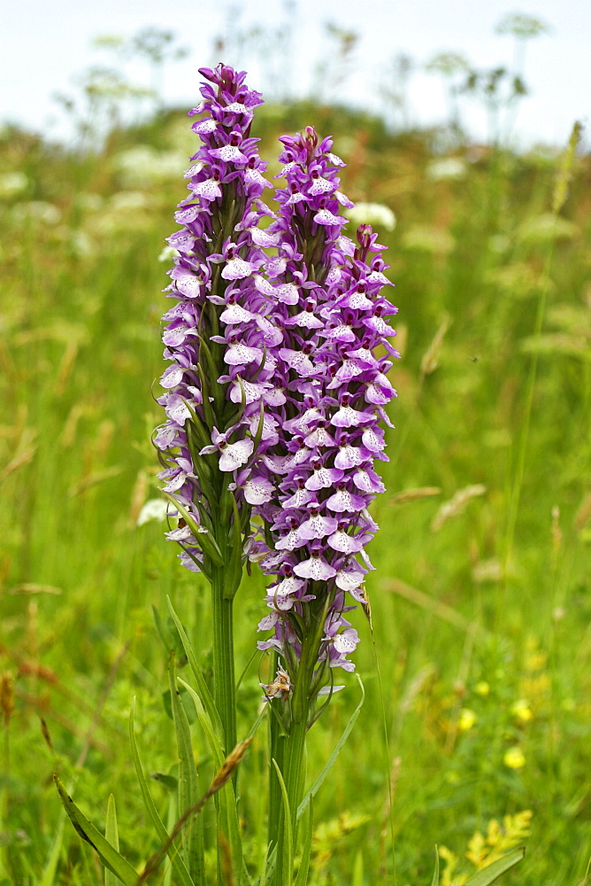 Marsh Orchids (Dactylorhiza sp). Jersey, British Channel Islands, UK - 1004-285