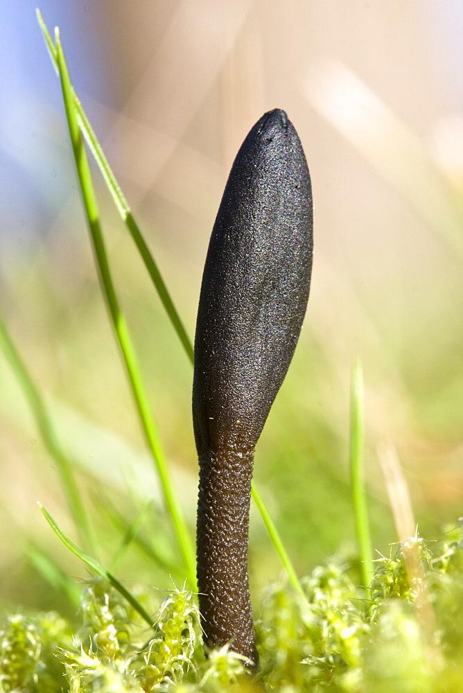 Hairy Earth Tongue Trichoglossum hirsutum. La Seigneurie, Sark, British Channel Islands