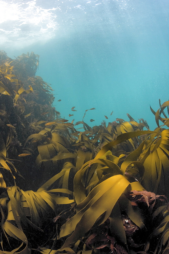 Kelp Laminaria sp. - 1004-442