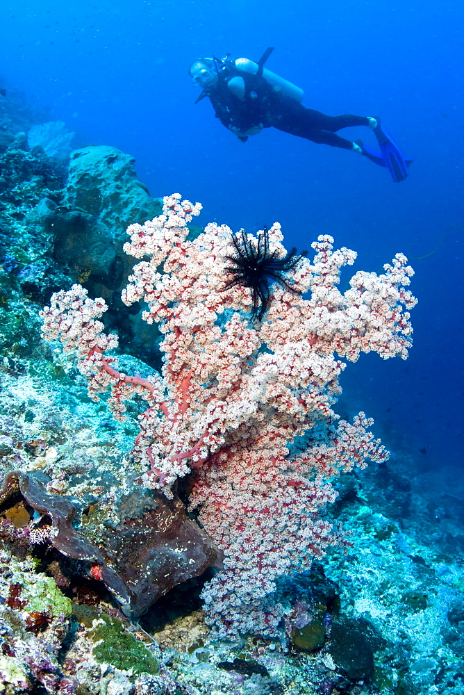 Diver and coral - 1004-488