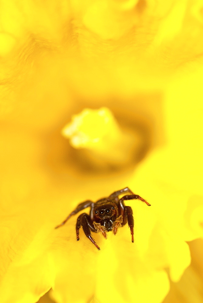 Jumping Spider sitting inside a daffodil bloom. - 1005-129