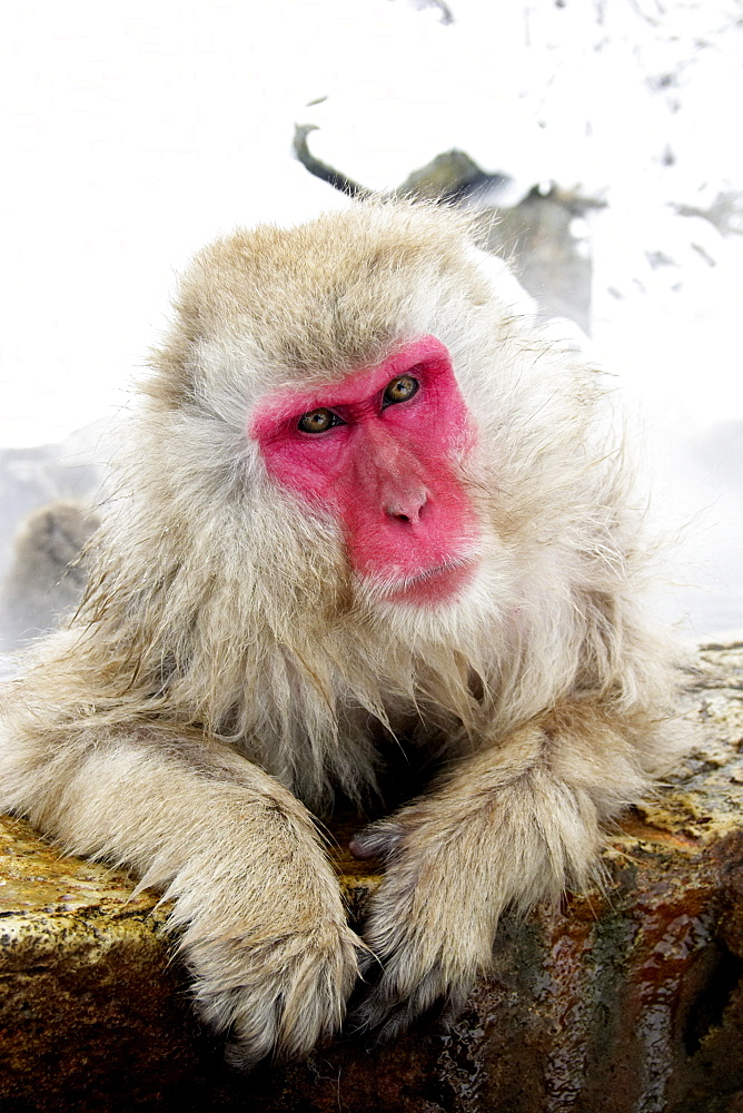 Snow monkey (macaca fuscata) bathes in a hot spring, Jigokudani National Park, Japan - 1005-138