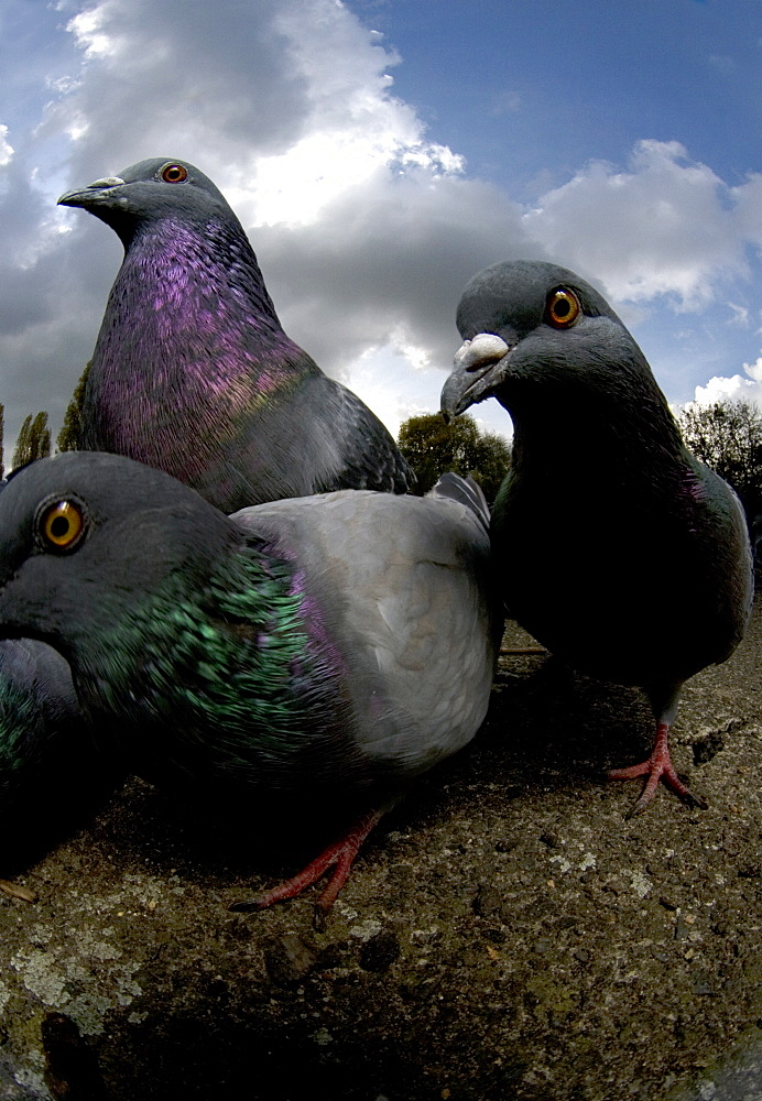 Pigeons (Columba Livia) in a London park - 1005-159