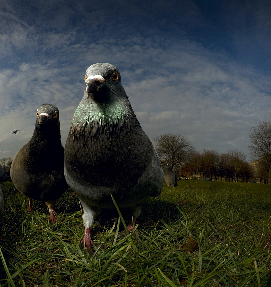 Pigeons (Columba Livis) in a London park - 1005-160