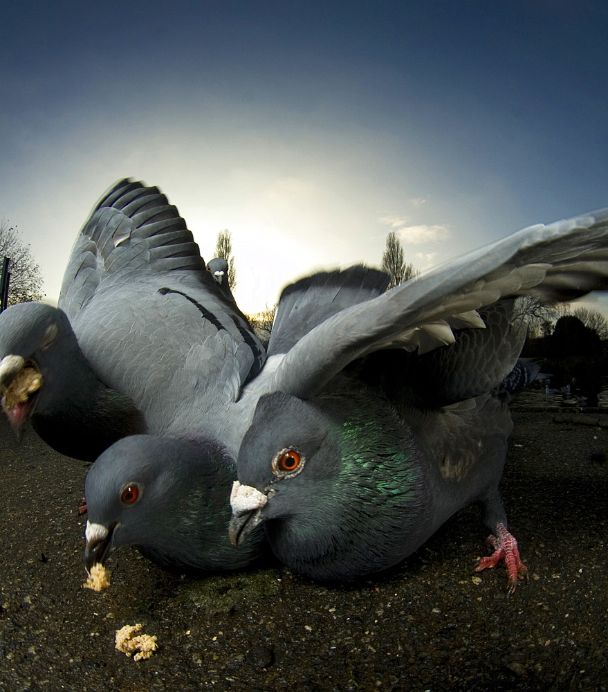 Pigeons (Columba Livia) in a London park. London, UK - 1005-172