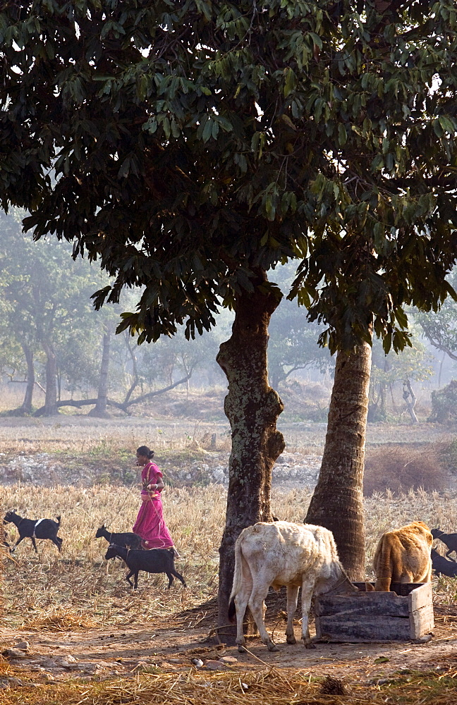 A young Indian woman tends her goats and cattle in a small village in the Sunderbans National Park, West Bengal, India. - 1005-45