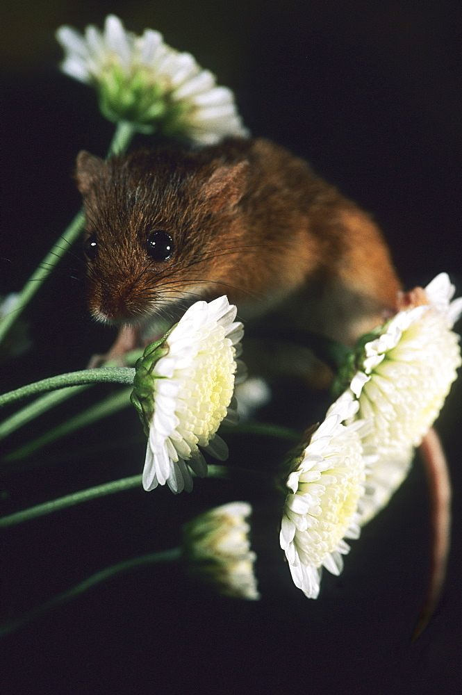 Harvest Mouse, Micromys minutus - 1005-63