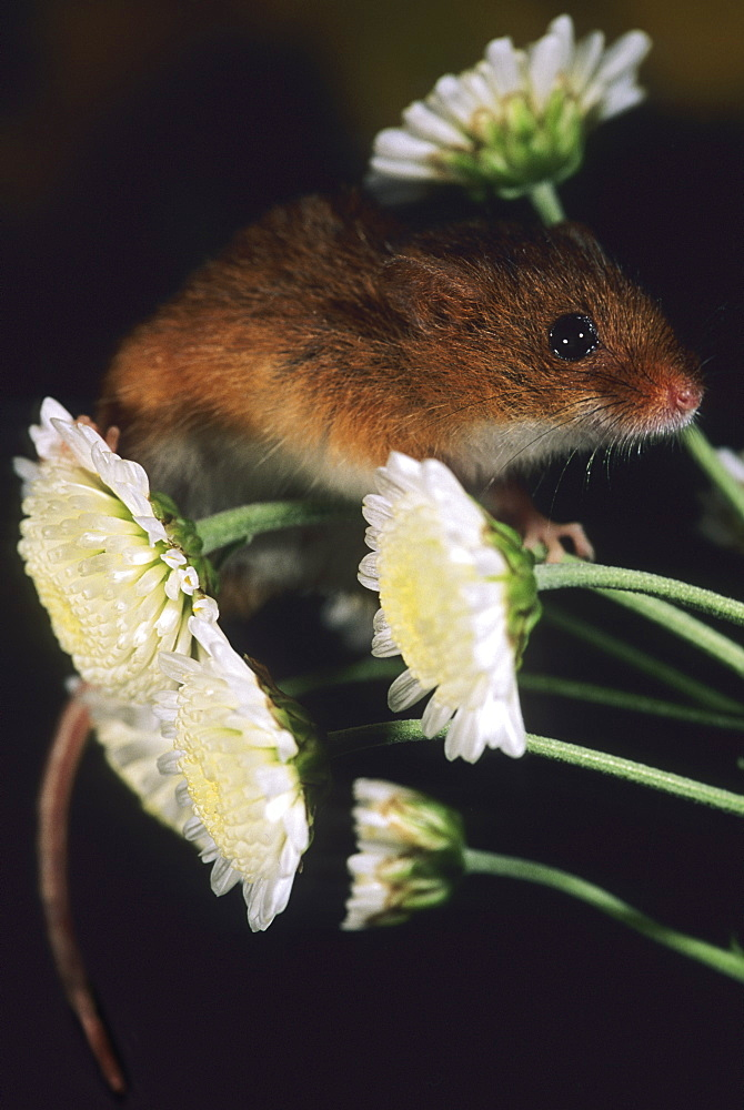 Harvest Mouse, Micromys minutus - 1005-64