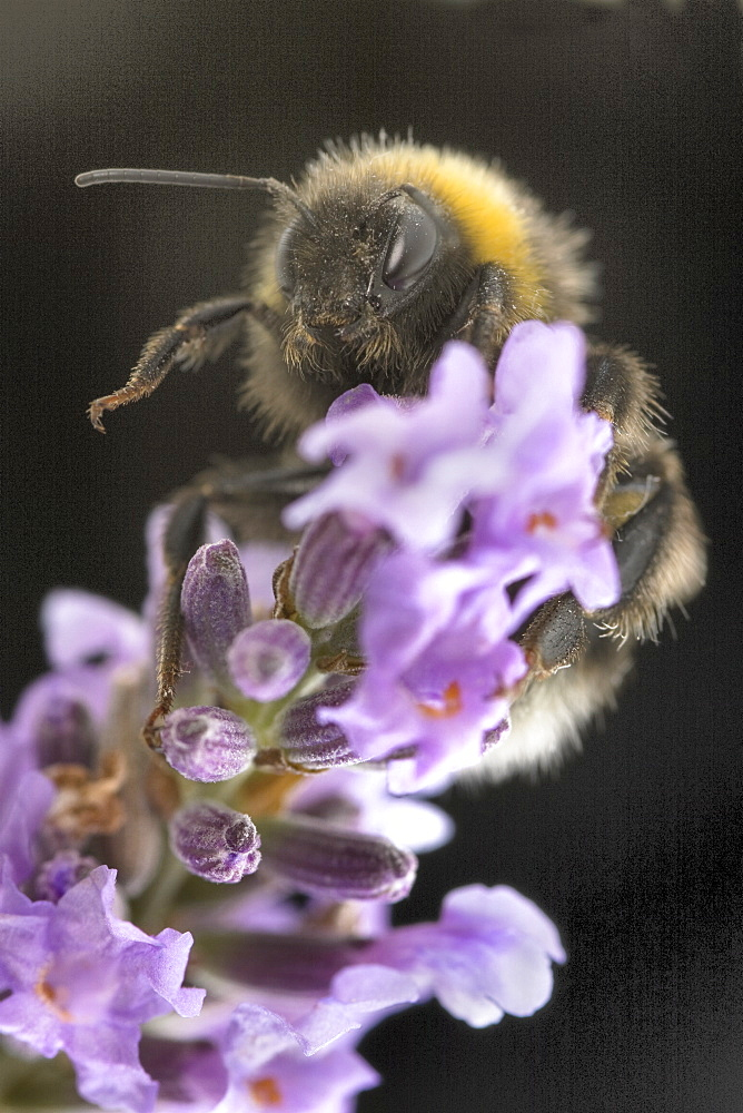 A Bumblebee (Bombus Terrestris) collects pollen and nectar from Lavender flowers, UK. - 1005-7