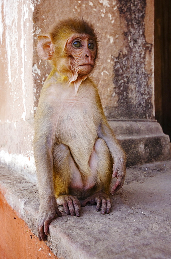 A baby Rhesus Monkey sits outside a temple, Varanasi, India - 1005-79