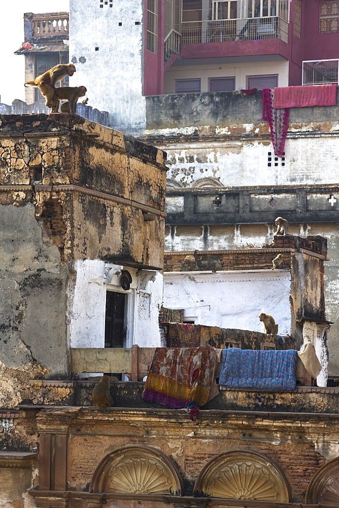 Rhesus Monkeys (Macaca Mulatta) frolic on crumbling buildings in Varanasi, India - 1005-86