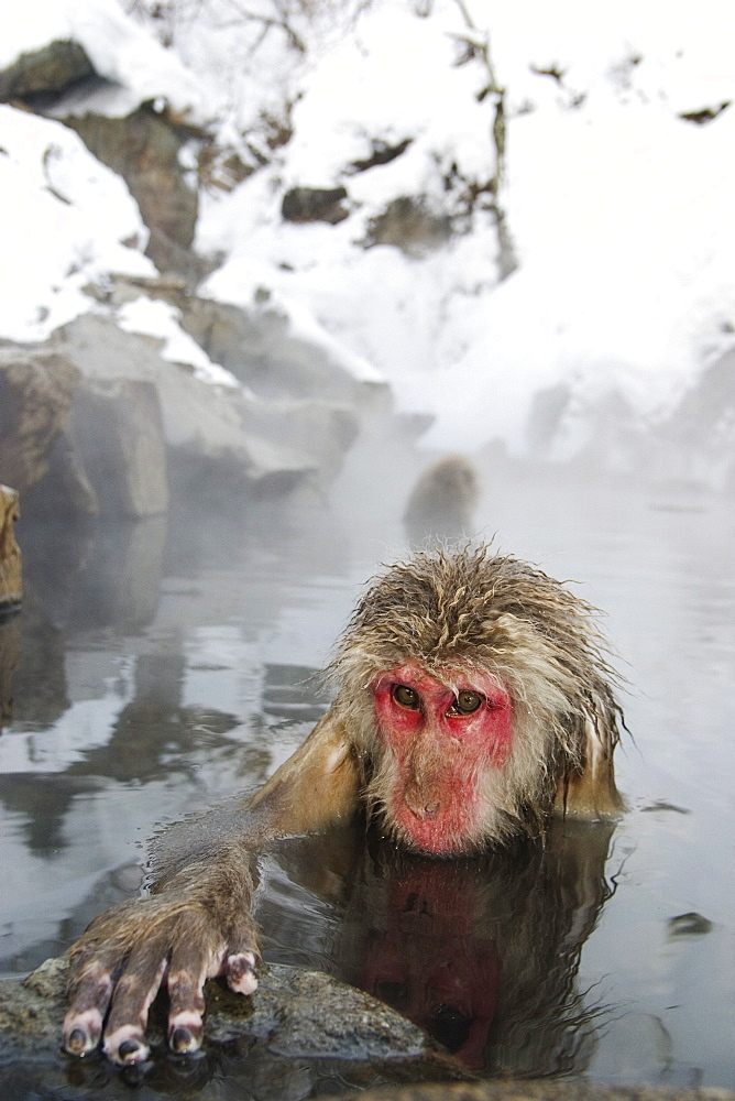 Snow monkey (macaca fuscata) bathes in a hot spring, Jigokudani National Park, Japan - 1005-92