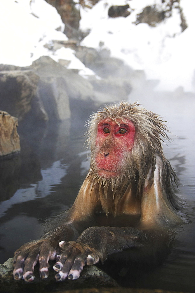 Snow monkey (macaca fuscata) bathes in a hot spring, Jigokudani National Park, Japan - 1005-93