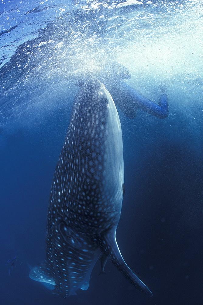 Whale Shark & snorkeler. Ningaloo, Australia