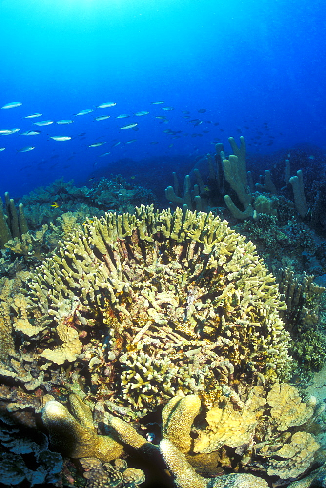 Anchor damaged Coral (Antler Pocillopora Coral, Pocillopora sp.). Gorontalo, Sulaweis, Indonesia