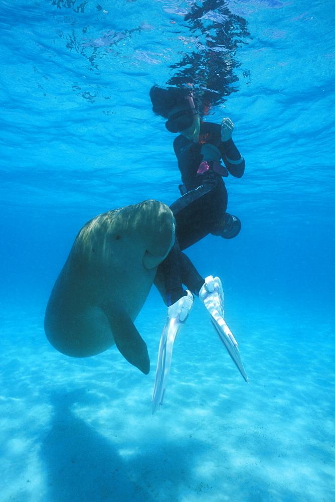 Wild Dugong (Dugong dugong) playing with snorkeler. Kota Kinabalu, Sabah, Malaysia