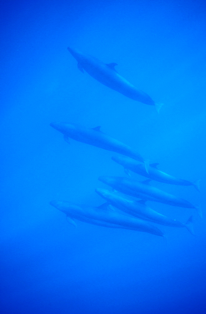 False Killer Whales (Pseudorca crassidens). Azores, Portugal, Atlantic.   (rr) - 1012-129