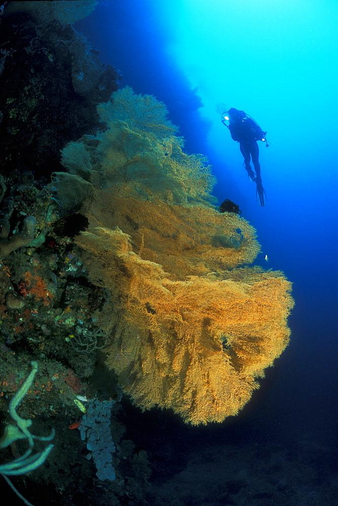 Gorgonian Net Sea Fan (Antipathes sp.) and diver. Gorontalo, Sulawesi, Indonesia