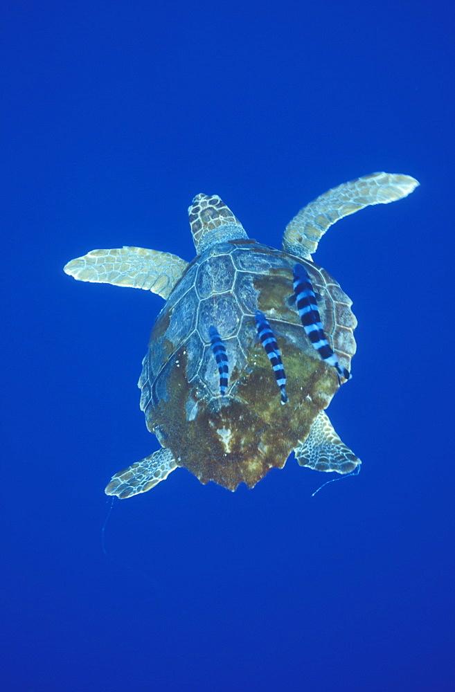 Loggerhead Turtle (Caretta caretta) and Pilot Fish (Naucrates ductor). Azores, Portugal, Atlantic.