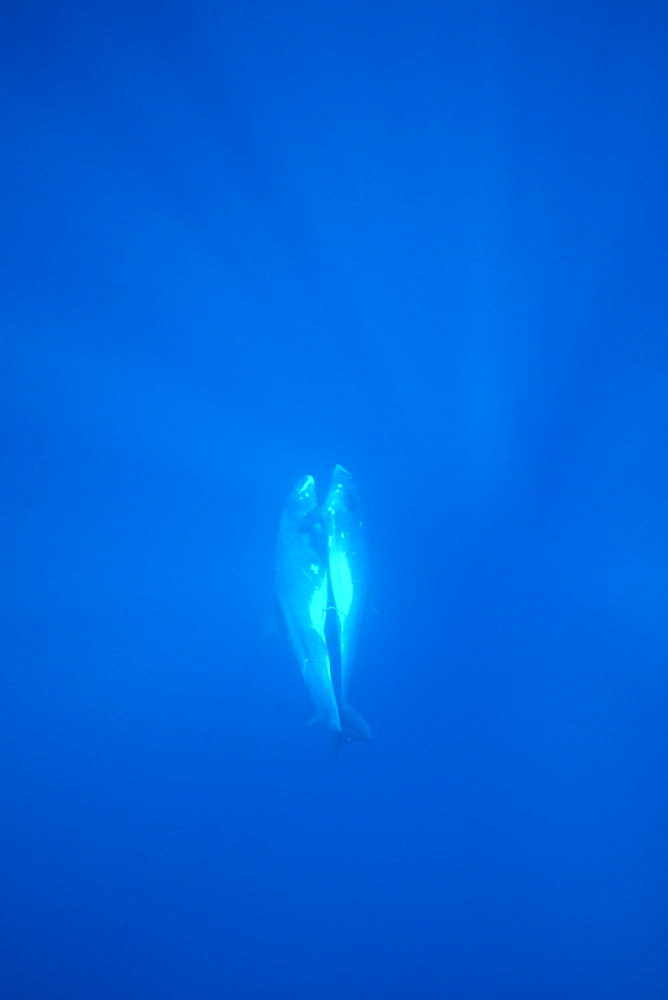 Pygmy killer whale (Feresa attenuata) mating pair. Hawaii. - 1012-14
