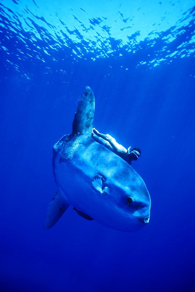 Oceanic Sun Fish (Moon Fish or Mola Mola) and snorkeler. Azores, Portugal, Atlantic.