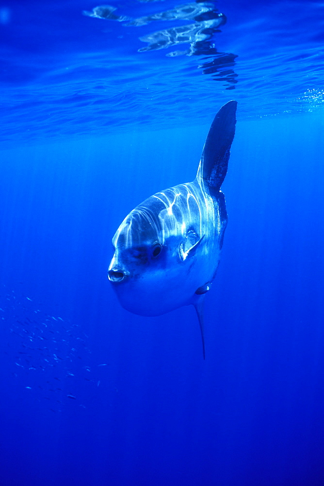 Oceanic Sun Fish (Moon Fish or Mola Mola). Azores, Portugal, Atlantic