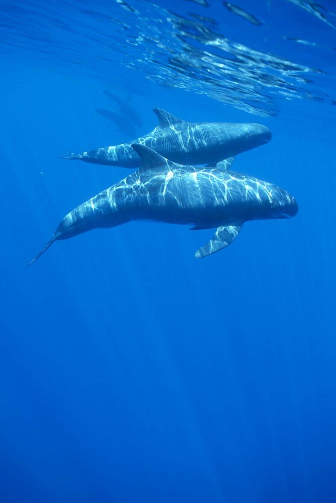 Pygmy killer whale (Feresa attenuata) travelling pod in dappled light near to surface. Hawaii. - 1012-16